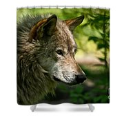 Timber Wolf Pictures 263 Shower Curtain
