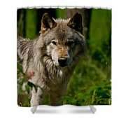 Timber Wolf Pictures 266 Shower Curtain