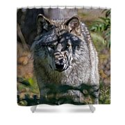Timber Wolf Pictures 405 Shower Curtain