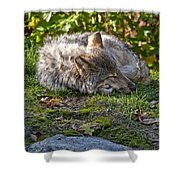 Timber Wolf Pictures 42 Shower Curtain