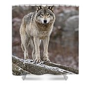 Timber Wolf Pictures 495 Shower Curtain