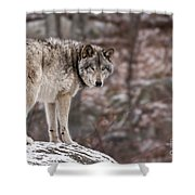Timber Wolf Pictures 498 Shower Curtain