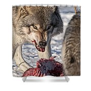 Timber Wolf Pictures 556 Shower Curtain