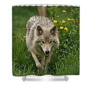 Timber Wolf Pictures 59 Shower Curtain