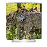 Timber Wolf Pictures 61 Shower Curtain