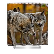 Timber Wolf Pictures 62 Shower Curtain