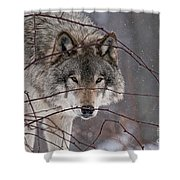 Timber Wolf Pictures 620 Shower Curtain