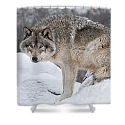 Timber Wolf Pictures 683 Shower Curtain