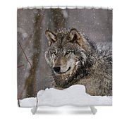 Timber Wolf Pictures 74 Shower Curtain