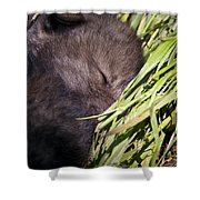 Timber Wolf Pictures 820 Shower Curtain