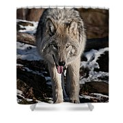 Timber Wolf Pictures 954 Shower Curtain