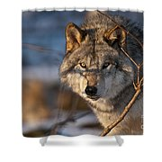 Timber Wolf Pictures 981 Shower Curtain