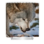 Timber Wolf Pictures 985 Shower Curtain