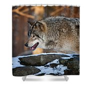 Timber Wolf Pictures 991 Shower Curtain
