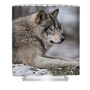 Timber Wolf Portrait Shower Curtain