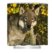 Timber Wolf Teton Valley Idaho Shower Curtain