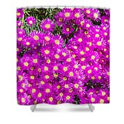 Tiny Dancer - Colorful Midday Flowers Lampranthus Amoenus Flower In Bloom In Spring. Shower Curtain