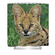 Tk0524, Thomas Kitchin Serval. Huge Shower Curtain