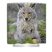 Tk0607, Thomas Kitchin Coyote In Spring Shower Curtain