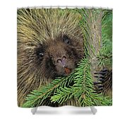 T.kitchin 14107c, Porcupine In Spruce Shower Curtain