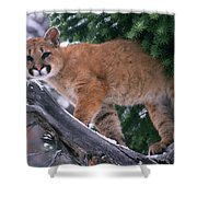 T.kitchin 15274d, Cougar Kitten Shower Curtain