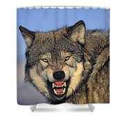 T.kitchin Wolf Snarling Shower Curtain by First Light