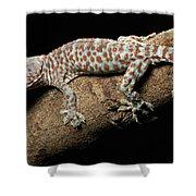 Tokay Gecko In Defensive Display Shower Curtain