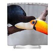 Toucan Ramphastos Toco Sitting On Tree Branch In Tropical Fore Shower Curtain