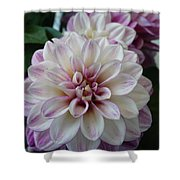 Touch Of Pink Dahlia Shower Curtain
