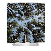 Towering White Pines Shower Curtain