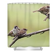 Tree Sparrows Shower Curtain