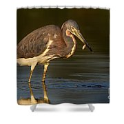 Tricolor Heron With Small Fish Shower Curtain