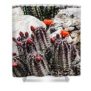 Trichocereus Cactus Flowers Shower Curtain