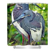 Tricolor Heron Adults In Breeding Shower Curtain