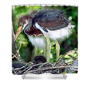 Tricolored Heron Nestlings Shower Curtain
