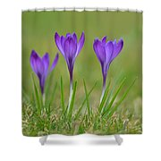Trio In Violet Shower Curtain