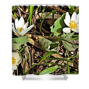Trio Of Bloodroot Flowers Shower Curtain