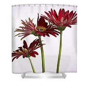 Trio Of Red Gerbera Daisys Shower Curtain