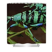 True Weevil Couple Mating Papua New Shower Curtain