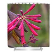 Trumpet Honeysuckle Buds Of Coral Woodbine  Shower Curtain