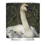Trumpeter Swan On Nest With Chicks Shower Curtain by Michael Quinton