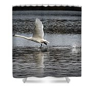 Trumpeter Swan Walking On Water Shower Curtain