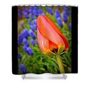 Tulip And Muscari  Shower Curtain