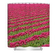 Tulip Festival In Mount Vernon Shower Curtain