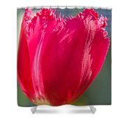 Tulip On The Gray Background Shower Curtain
