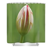 Tulip Red And White In Spring Shower Curtain