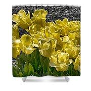 Tulips At Dallas Arboretum V23 Shower Curtain