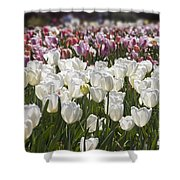 Tulips At Dallas Arboretum V52 Shower Curtain