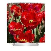 Tulips At Dallas Arboretum V83 Shower Curtain