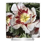 Tulips At Dallas Arboretum V91 Shower Curtain